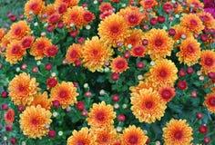 хризантемы обрамляют полный красный цвет золота Стоковое Фото