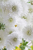 Хризантемы осени Стоковые Фото