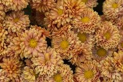 Хризантемы цветя сада, абстрактная предпосылка стоковые изображения