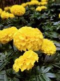 хризантемы Стоковые Изображения