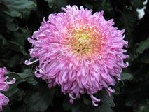 хризантемы Стоковые Фото