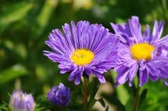 Хризантемы стоковая фотография rf