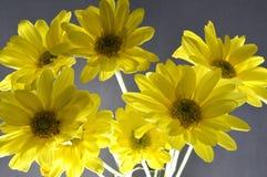 Хризантемы Стоковая Фотография
