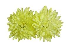 2 хризантемы Стоковое Фото