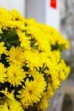 хризантемы стоковое фото