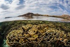 Хрупкие Foliose кораллы в Komodo Стоковое Изображение RF