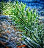Хрустящая сосна утра Стоковое Фото