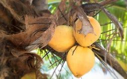 Хрустящий оранжевый кокос Стоковые Фотографии RF