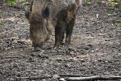 Хряк живой природы в грязи Стоковые Фотографии RF