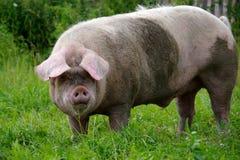 Хряк свиньи Стоковая Фотография