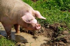 Хряк свиньи Стоковое Фото