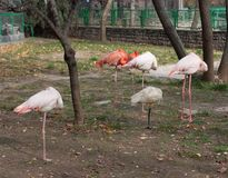 Худенькие строки фламинго на зоопарке стоковые изображения rf
