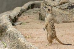 Худеньк-замкнутое suricatta Suricata Meerkats стоя и ища что-то Стоковое Изображение