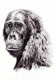 Художнический эскиз обезьяны Стоковое Фото