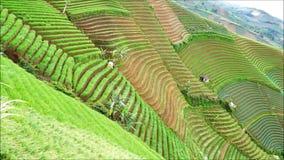 Художнически террасные поля лука в Majalengka сток-видео