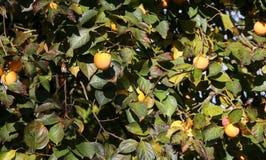 хурмы вися от дерева осенью Стоковая Фотография