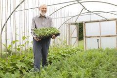 хуторянин держа органический поднос сеянцев Стоковая Фотография RF