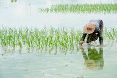 Хуторянин засаживают рис в ферме стоковые изображения