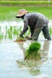 Хуторянин засаживают рис в ферме. стоковое фото rf