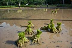 Хуторянин засаживая рис. Стоковое Изображение RF
