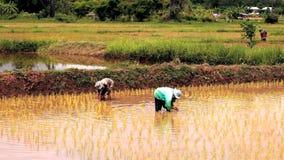 хуторянин засаживая рис акции видеоматериалы