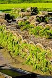 хуторянин засаживая sapling риса тайский Стоковое Изображение