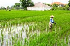 Хуторянин работая на поле риса Стоковое Изображение RF
