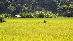 Хуторянин распыляет пестицид на зрелом поле риса стоковые фотографии rf