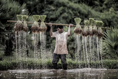 Хуторянин растут рис в сезоне дождей Стоковые Изображения