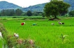хуторянин тайский Стоковые Изображения
