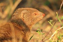Худенькая мангуста - африканская предпосылка живой природы - выноситель милый стоковое изображение