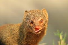 Худенькая мангуста - африканская предпосылка живой природы - самый милый выноситель вокруг стоковые изображения