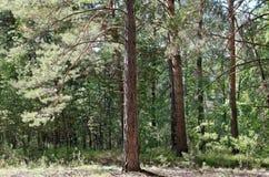 Худенький сосновый лес Стоковая Фотография RF