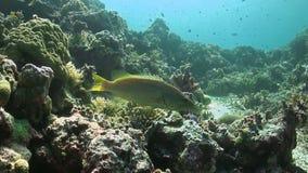 Худенький Grouper сток-видео
