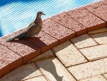 Худеньк-представленный счет голубь кукушки Стоковые Фотографии RF