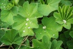 Хламида дамы, лекарственное растение стоковая фотография rf