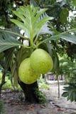 Хлебные деревья - Мадагаскар Стоковые Фото