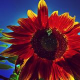 Хлебоуборка солнцецветов Стоковые Фотографии RF
