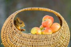 Хлебоуборка Яблока Стоковая Фотография RF