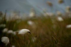 Хлопок трясины на острове Achill, Co mayo Стоковое Изображение
