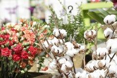 Хлопок цветет (хлопчатник) Стоковая Фотография RF
