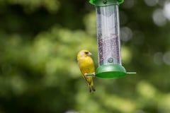 Хлорида щегла Greenfinch подавая на фидере Стоковые Фото