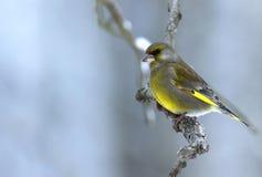 Хлорида щегла Greenfinch сидя на ветви в туманном, холодный Стоковые Изображения