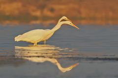 2 цапли больших белизны удят в спокойной воде в мягком свете утра Стоковые Фотографии RF