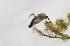 Цапля большой сини принимая полет от сосны - Венецию, Florid стоковое фото rf