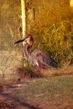 Цапля Голиафа птицы сидеть на гнезде Стоковая Фотография