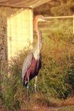 Цапля Голиафа птицы стояла на зеленом поле Стоковая Фотография
