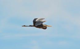 цапля голубого летания большая Стоковая Фотография RF