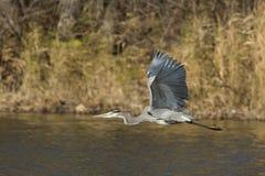 цапля голубого полета большая Стоковые Изображения