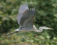 цапля голубого полета большая Стоковая Фотография
